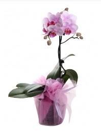 1 dal pembe orkide saksı çiçeği  Bursa çiçek yenişehir çiçekçi mağazası