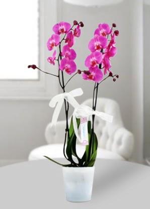 Çift dallı mor orkide  Çiçekçi bursa çiçek firması