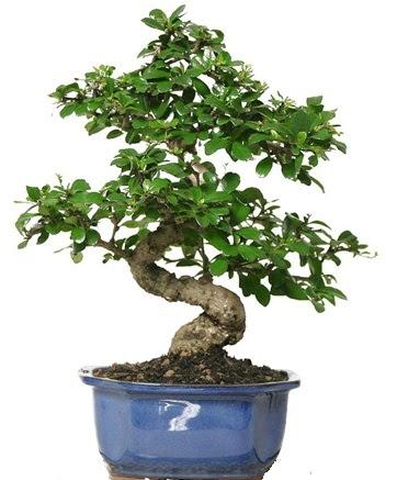 21 ile 25 cm arası özel S bonsai japon ağacı  Çiçekçi Bursa sitesi inegöl çiçek mağazası , çiçekçi adresleri