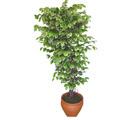 Ficus özel Starlight 1,75 cm   Bursadaki çiçekçiler bursaya çiçek yolla