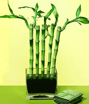 Çiçekçi Bursa sitesi nilüfer çiçek siparişi vermek  Good Harmony Lucky Bamboo camda