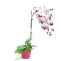 Bursa çiçek iznik çiçek online çiçek siparişi  Saksida orkide