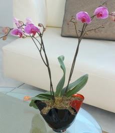 Bursa çiçek siparişi  tek dal ikili orkide saksi çiçegi