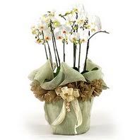 Online Bursa çiçekçi  3 dal orkide , saksi çiçegi , 3 kök orkide