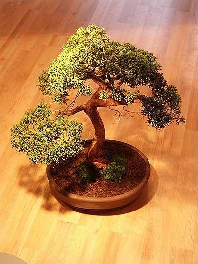 ithal bonsai saksi çiçegi  Bursa çiçek mustafa kemal paşa çiçek siparişi sitesi