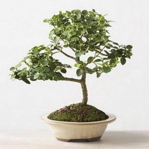 ithal bonsai saksi çiçegi  Bursa çiçekçiler orhaneli çiçekçiler