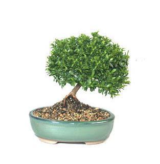 ithal bonsai saksi çiçegi  Bursa çiçek ucuz çiçek gönder