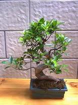 ithal bonsai saksi çiçegi  Bursadaki çiçek cicek , cicekci