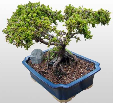 ithal bonsai saksi çiçegi  Bursa çiçek siparişi