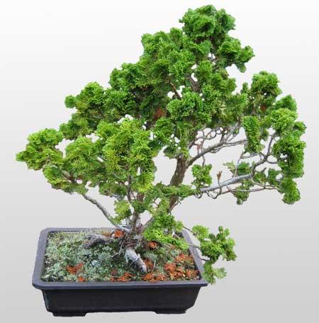 ithal bonsai saksi çiçegi  Bursa çiçekçiler nilüfer cicekciler , cicek siparisi