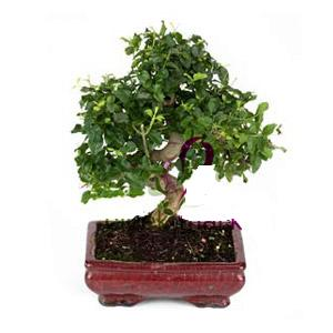 ithal bonsai saksi çiçegi  Çiçekçi Bursa sitesi nilüfer çiçek siparişi vermek