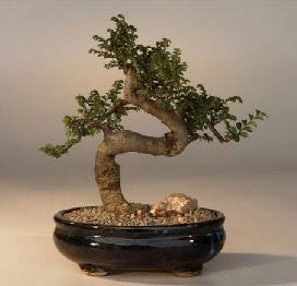 ithal bonsai saksi çiçegi  Çiçekçi Bursa sitesi gemlik güvenli kaliteli hızlı çiçek