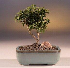 Bursa çiçek satışı iznik hediye sevgilime hediye çiçek  ithal bonsai saksi çiçegi  Bursa çiçek siparişi
