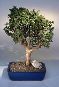 Bursa çiçek iznik çiçek online çiçek siparişi  ithal bonsai saksi çiçegi  Çiçekçi bursa çiçek firması
