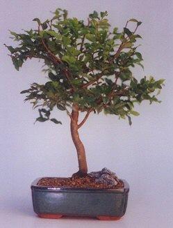 Bursa çiçek yolla osmangazi online çiçekçi , çiçek siparişi  ithal bonsai saksi çiçegi  Çiçekçi Bursa sitesi nilüfer çiçek siparişi vermek