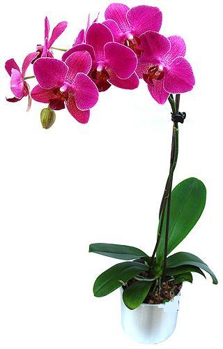 Bursa çiçek siparişi  saksi orkide çiçegi