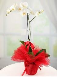 1 dal beyaz orkide saksı çiçeği  Bursa çiçekçi karacabey 14 şubat sevgililer günü çiçek