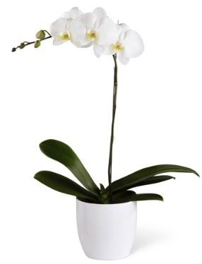 1 dallı beyaz orkide  Çiçekçi Bursa sitesi gemlik güvenli kaliteli hızlı çiçek