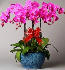 7 dallı mor orkide  Bursa çiçekçiler orhaneli çiçekçiler