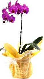 Online Bursa çiçekçi  Tek dal mor orkide saksı çiçeği