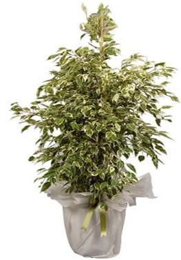 Orta boy alaca benjamin bitkisi  Bursa çiçek siparişi