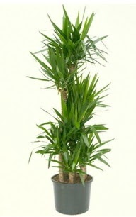 7 li yucca saksı bitkisi  Çiçekçi Bursa sitesi osmangazi internetten çiçek satışı