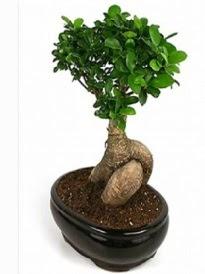 Bonsai saksı bitkisi japon ağacı  Online Bursa çiçekçi