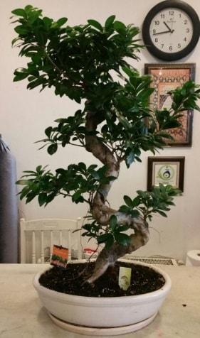 100 cm yüksekliğinde dev bonsai japon ağacı  Bursa çiçekçiler nilüfer cicekciler , cicek siparisi