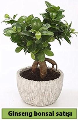 Ginseng bonsai japon ağacı satışı  Çiçekçi Bursa sitesi inegöl çiçek mağazası , çiçekçi adresleri