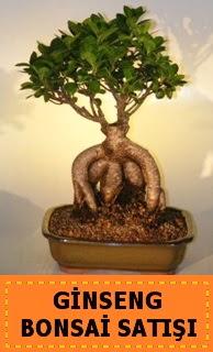 Ginseng bonsai satışı japon ağacı  Bursadaki çiçekçiler bursaya çiçek yolla