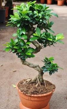 Orta boy bonsai saksı bitkisi  Bursadaki çiçekçi bursaya çiçek
