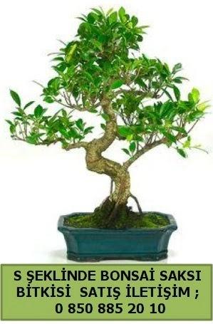 İthal S şeklinde dal eğriliği bonsai satışı  Bursa çiçek iznik çiçek online çiçek siparişi