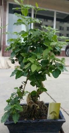 Bonsai japon ağacı saksı bitkisi  Bursa çiçek karacabey çiçekçi telefonları