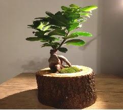 Doğal kütükte Bonsai japon ağacı satışı  Bursa çiçek siparişi