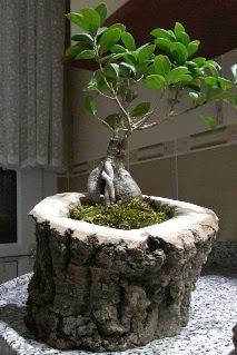 Ahşap kütük içerisinde ginseng bonsai  Bursadaki çiçekçi bursaya çiçek