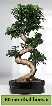 80 cm özel saksıda bonsai bitkisi  Çiçekçi Bursa sitesi inegöl çiçek mağazası , çiçekçi adresleri