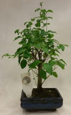 Minyatür bonsai japon ağacı satışı  Çiçekçi Bursa sitesi inegöl çiçek mağazası , çiçekçi adresleri