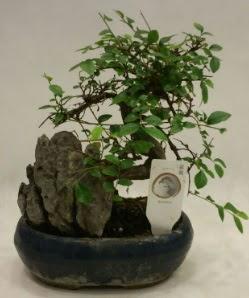 İthal 1.ci kalite bonsai japon ağacı  Bursa çiçekçi inegöl kaliteli taze ve ucuz çiçekler