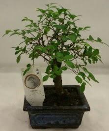 Minyatür ithal japon ağacı bonsai bitkisi  Bursa çiçekçi inegöl kaliteli taze ve ucuz çiçekler