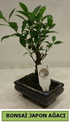 Bonsai japon ağacı saksı bitkisi  Çiçekçi Bursa sitesi osmangazi internetten çiçek satışı