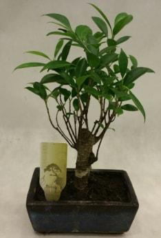 Japon ağacı bonsai bitkisi satışı  Çiçekçi Bursa sitesi inegöl çiçek mağazası , çiçekçi adresleri