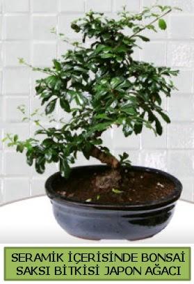 Seramik vazoda bonsai japon ağacı bitkisi  Online Bursa çiçekçi