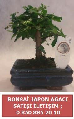 Japon ağacı minyaür bonsai satışı  Bursa çiçekçi inegöl kaliteli taze ve ucuz çiçekler