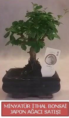 Küçük görsel bonsai japon ağacı bitkisi  Bursa çiçek büyük orhan yurtiçi ve yurtdışı çiçek siparişi