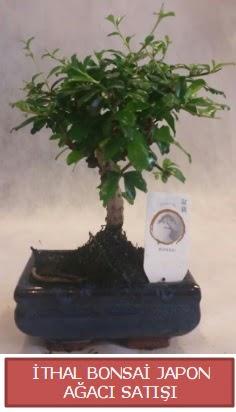 İthal küçük boy minyatür bonsai ağaç bitkisi  Çiçekçi Bursa sitesi inegöl çiçek mağazası , çiçekçi adresleri