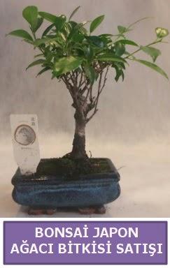 İthal Bonsai japon ağacı bitkisi satışı  Bursa çiçekçiler nilüfer cicekciler , cicek siparisi