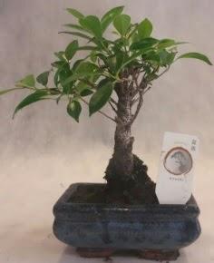 Bonsai ağacı japon ağaç bitkisi  Bursa çiçek satışı iznik hediye sevgilime hediye çiçek