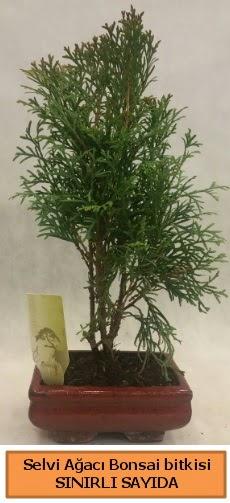 Selvi ağacı bonsai japon ağacı bitkisi  Bursa çiçekçi inegöl kaliteli taze ve ucuz çiçekler