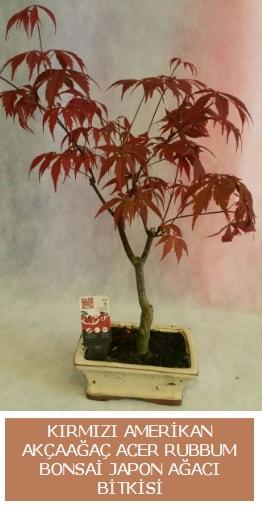 Amerikan akçaağaç Acer Rubrum bonsai  Bursadaki çiçekçi nilüfer hediye çiçek yolla