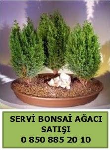 BONSAİ 3 LÜ SERVİ BONSAİ AĞACI  Çiçekçi Bursa sitesi inegöl çiçek mağazası , çiçekçi adresleri